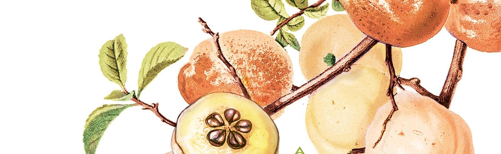 Планински лимон – Ръководство за отглеждане. Агротехически и здравни аспекти